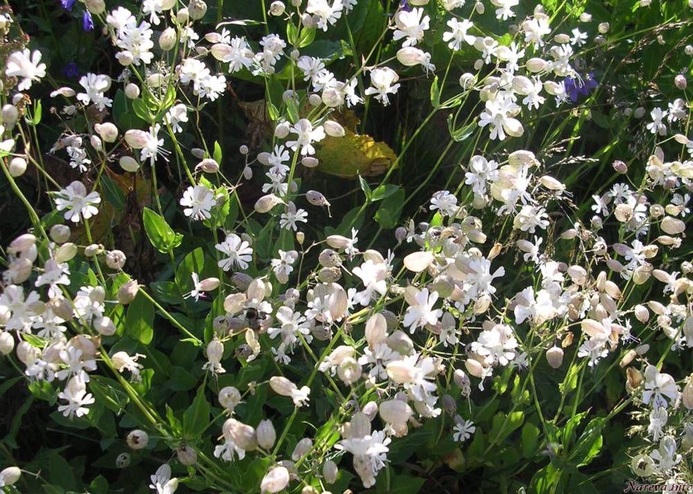 Fleurs de montagne - Arbuste petites fleurs blanches ...