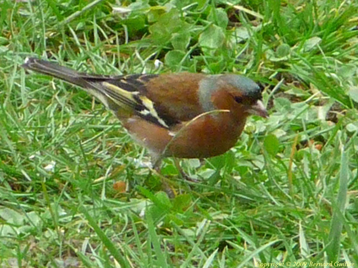 Pin pinson du nord fringilla montifringilla par marc for Oiseau bleu et orange