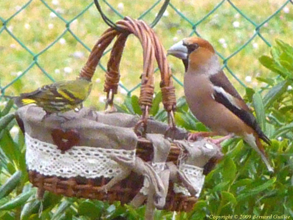 Comptage des oiseaux des jardins les oiseaux de nos for Jardin des oiseaux